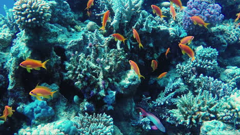 Ecosystem-Of-A-Coral-Reef-With-A-Lot-Of-Fish-Red-Sea-Anthias-3