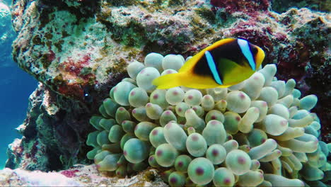 Ecosystem-Of-A-Coral-Reef-With-A-Lot-Of-Fish-Red-Sea-Anthias-5