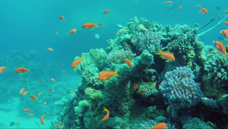 Ecosystem-Of-A-Coral-Reef-With-A-Lot-Of-Fish-Red-Sea-Anthias-6