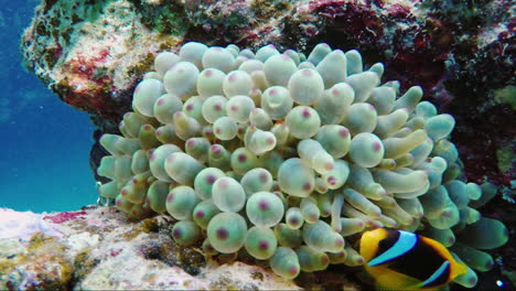 Ecosystem-Of-A-Coral-Reef-With-A-Lot-Of-Fish-Red-Sea-Anthias-7
