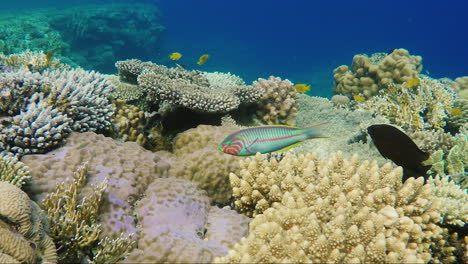 Ecosystem-Of-A-Coral-Reef-With-A-Lot-Of-Fish-Red-Sea-Anthias-8