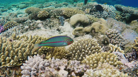 Ecosystem-Of-A-Coral-Reef-With-A-Lot-Of-Fish-Red-Sea-Anthias-9