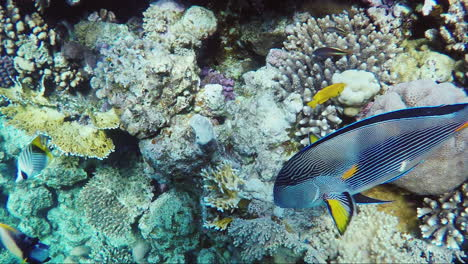 Ecosystem-Of-A-Coral-Reef-With-A-Lot-Of-Fish-Red-Sea-Anthias-10