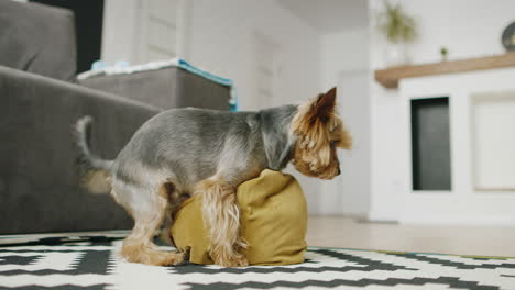 Funny-Little-Dog-Plays-With-A-Pillow