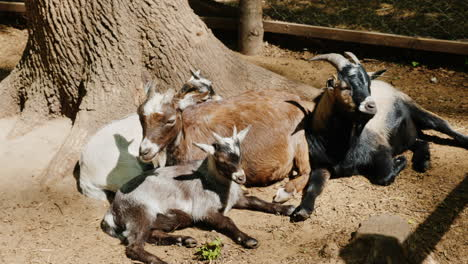 Several-Funny-Goats-Rest-In-The-Shade-Of-A-Tree