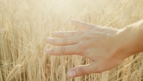 Farmer-s-Hand-Over-Wheat-Field-At-Sunset-1