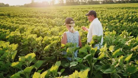 Steadicam-Shot:-Two-Farmers-Walking-Along-The-Green-Field-Of-Sunflowers